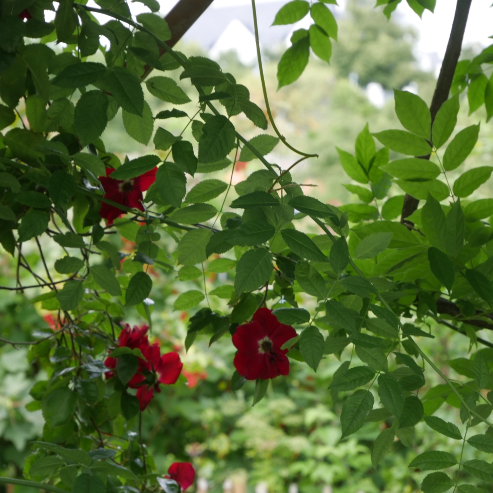 Rosen in der Alten Schlossgärtnerei Plön